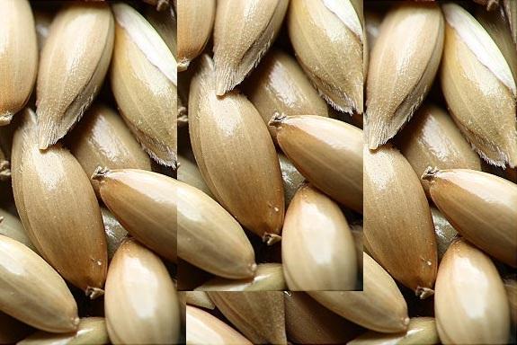 Semilla de Alpiste en tamaño ampliado varias veces
