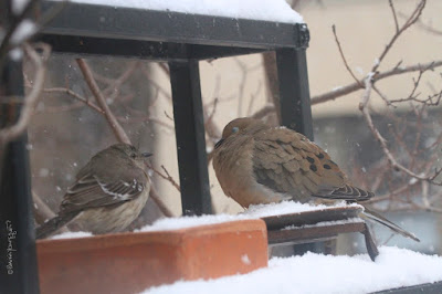 "The eighth bird-themed image in this post. This picture shows two birds standing on a garden shelf during a snowfall. A Northern mockingbird is on the left and a Mourning dove is on the right.  These bird types are featured in my book series, ""Words In Our Beak."" Info re my books is included within another post on this blog @ https://www.thelastleafgardener.com/2018/10/one-sheet-book-series-info.html"