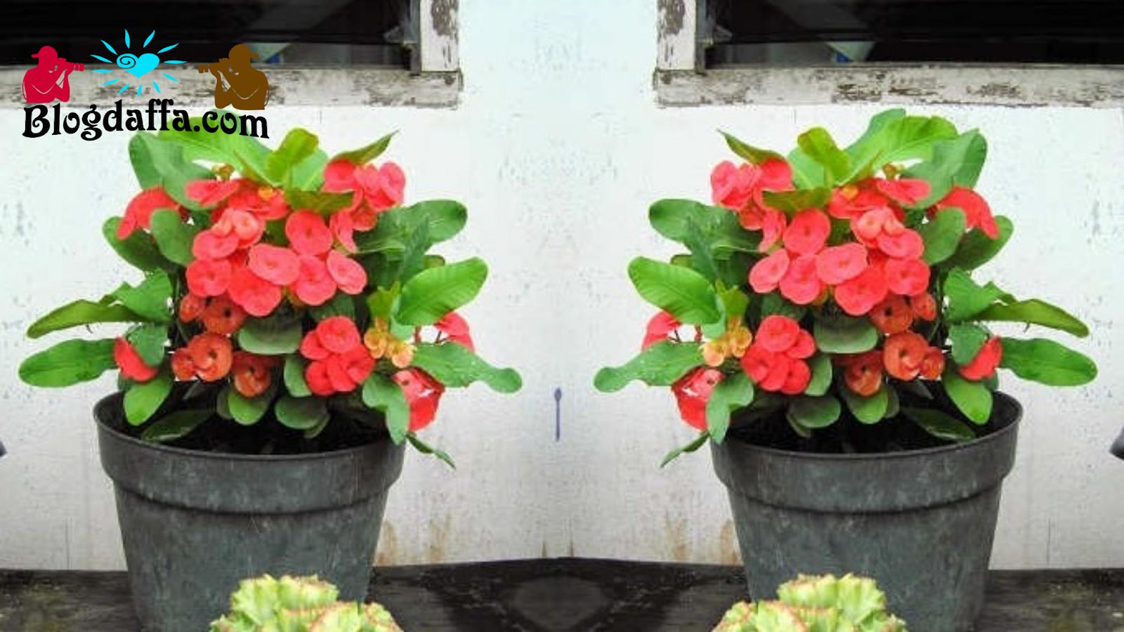 Bunga Euphorbia tanaman hias tahan panas