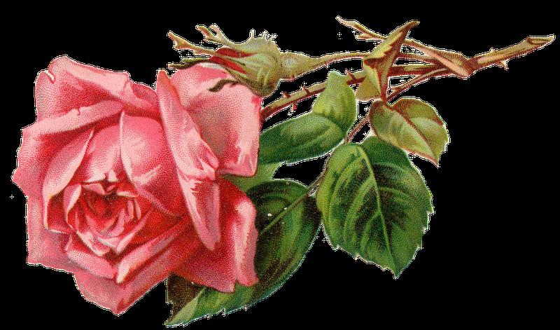 Leaping Frog Designs Vintage Pink Rose Png Free Image