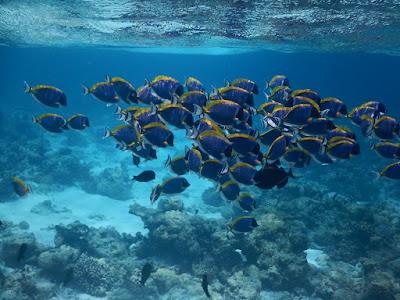 Habitat Ikan Blue Tang