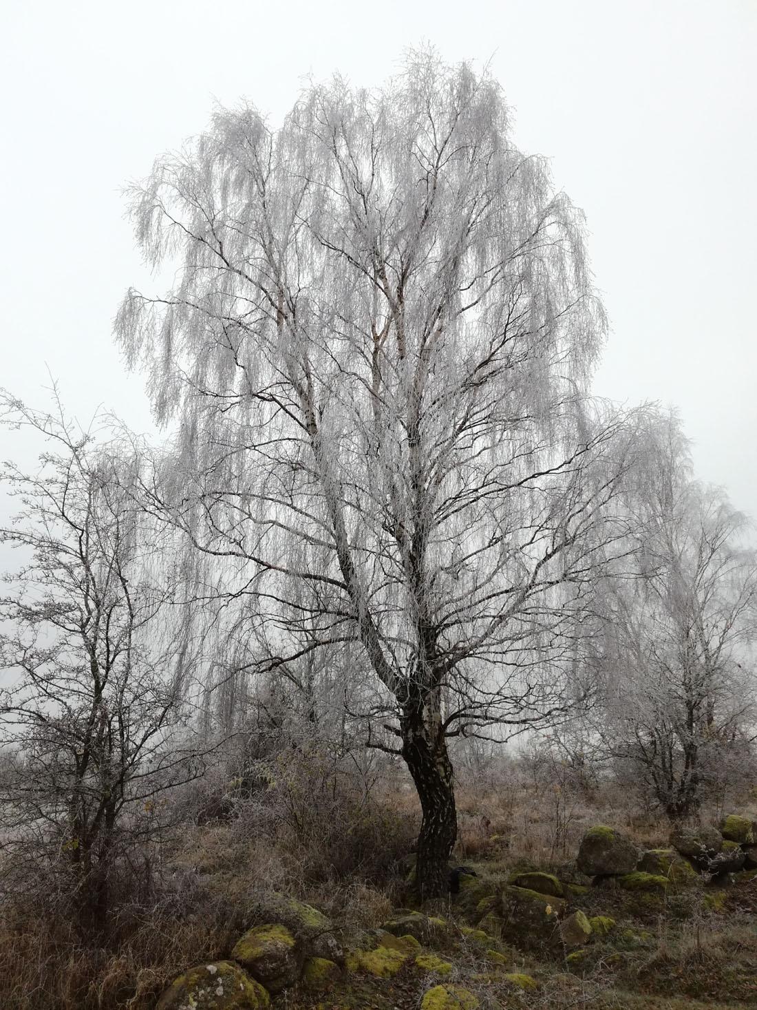 Betulla con il gelo