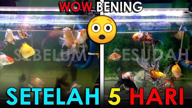 5 Hari Disinari Lampu UV Air Aquarium Berkabut, Keruh Berubah Seketika Bening bin Jernih - Mau Coba
