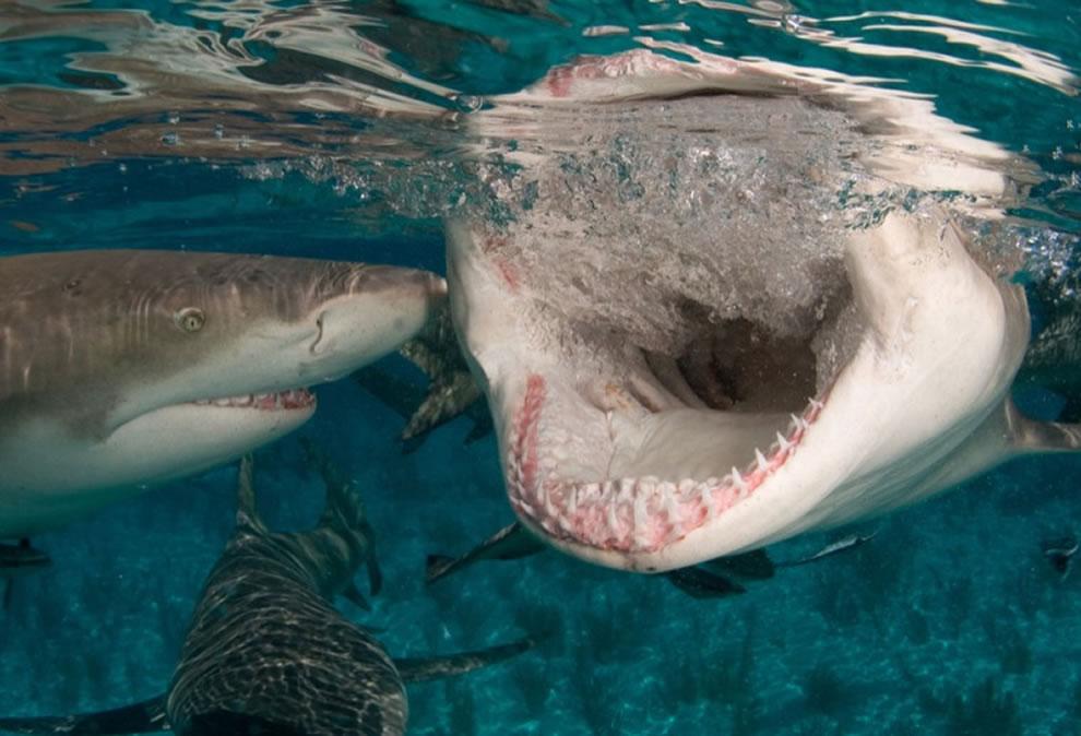 اسماك القرش تحت الماء Lemon-shark-snapping