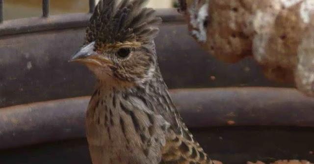Ciri – Ciri Burung Branjangan Sesuai  Asalnya