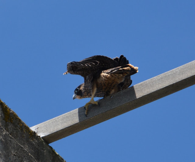 Alcatraz Island Records First Ever Nesting of Peregrine Falcons