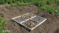 Drying garlic - The Farm at Stratford, CT
