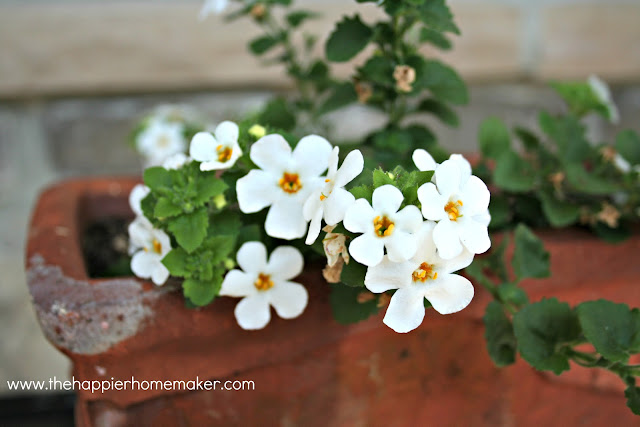 A close up of bacopa flowers
