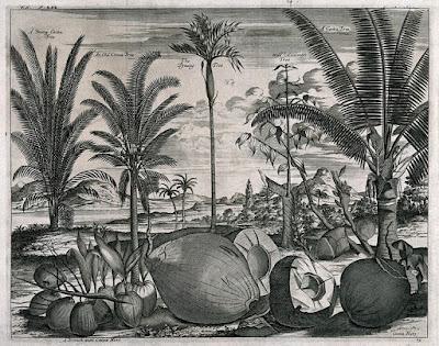 imagen de palmas de coco areca betel árbol de canela Nieuhof 1682