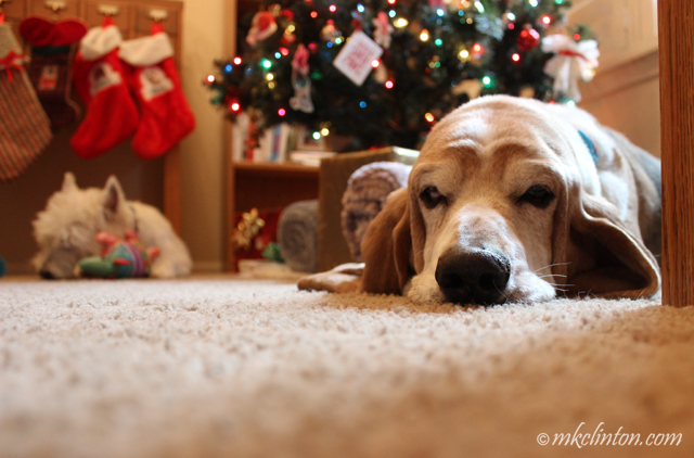 Basset relaxing under Christmas tree