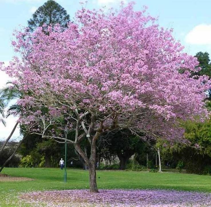 Tanaman pohon bibit tabebuya pink Papua