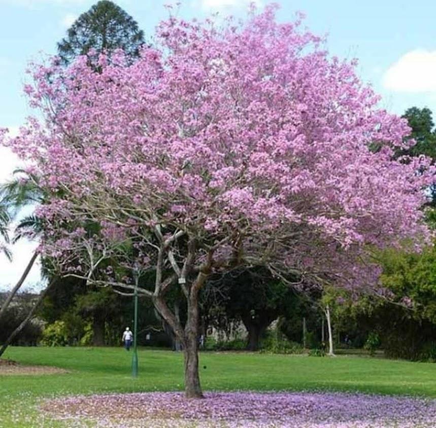 Tanaman pohon bibit tabebuya pink Kupang