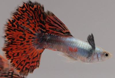 Harga Ikan Guppy Red Mozaic Tahun 2016 - 2017