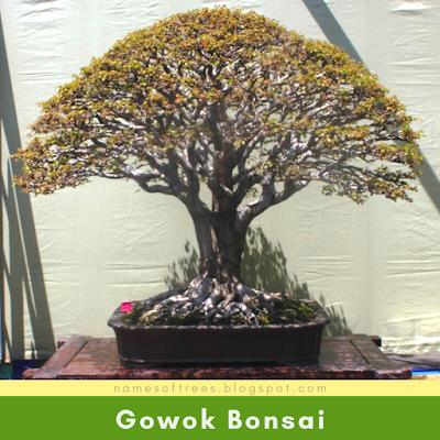 Gowok Bonsai