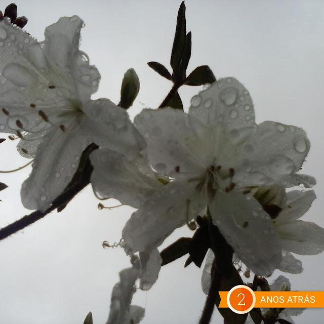 azaléas brancas, flores