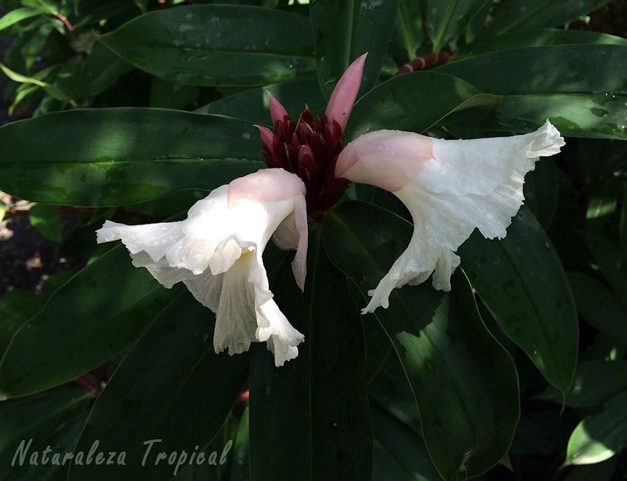 Par de flores que surgen de las brácteas y vista de las hojas alargadas en disposición espiral de Cheilocostus speciosus; planta Sombrero de Dama