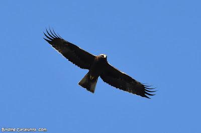Àguila calçada de morfo fosc