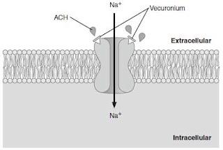 Neuromuscular Junction Blockers