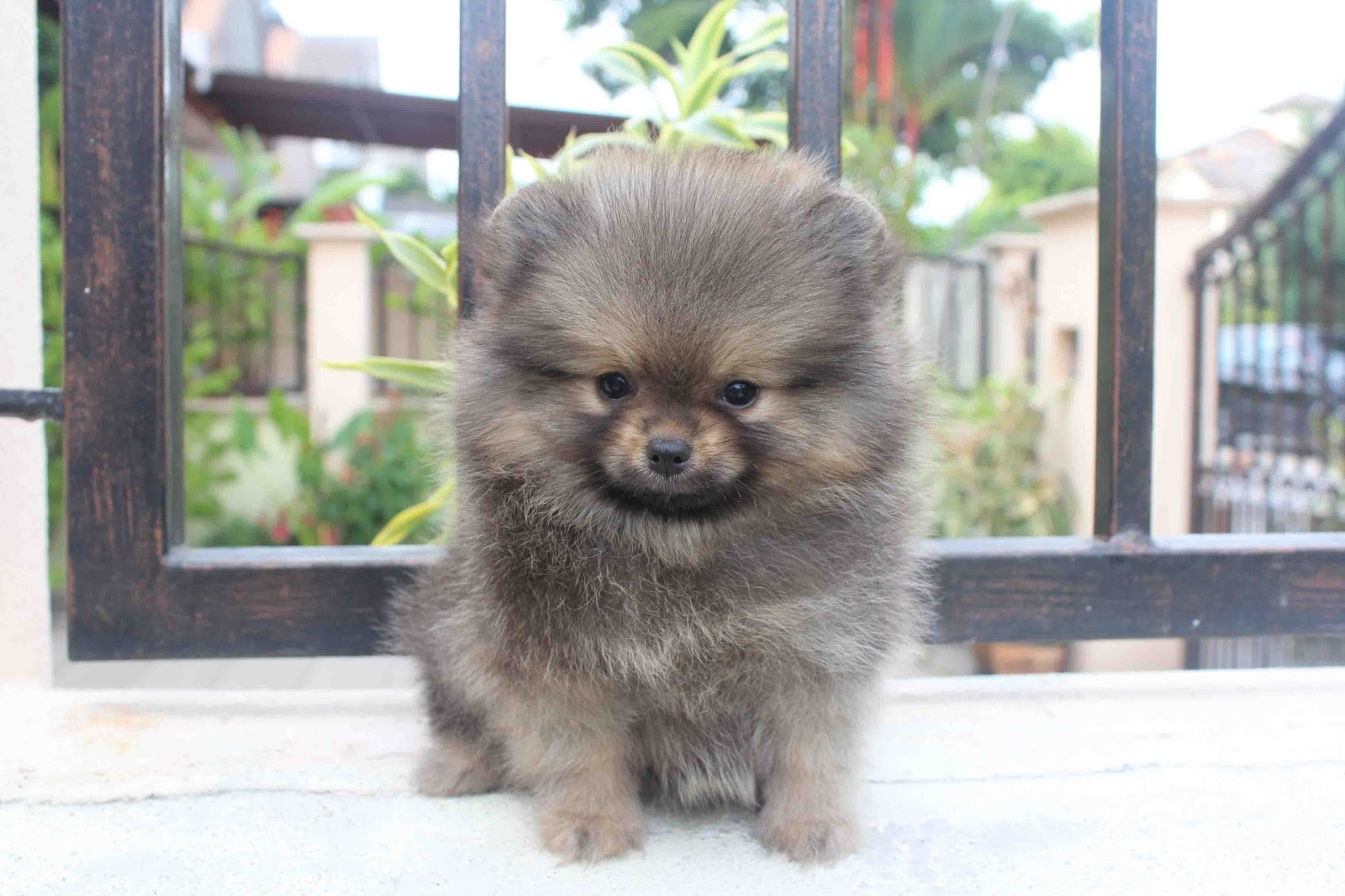 wolf sable pomeranian for sale lovelypuppy wolf sable color pomeranian puppy 449