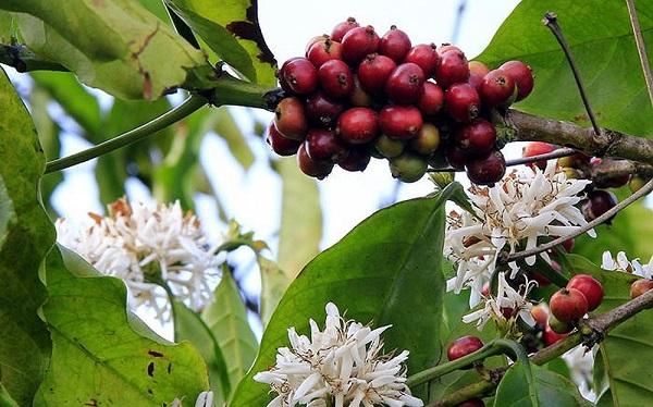 Giá cà phê hôm nay 14/7: Quay đầu giảm 500 đồng/kg