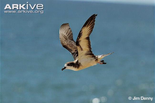 petrel hawaiano Pterodroma sandwichensis