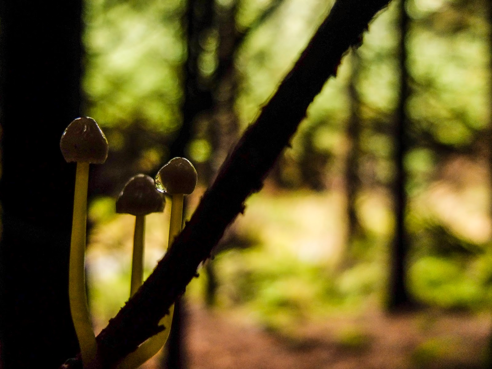 Tiny mushrooms growing on a pine tree branch inside a forest.