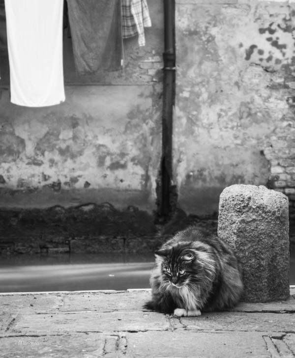 maine coon italy