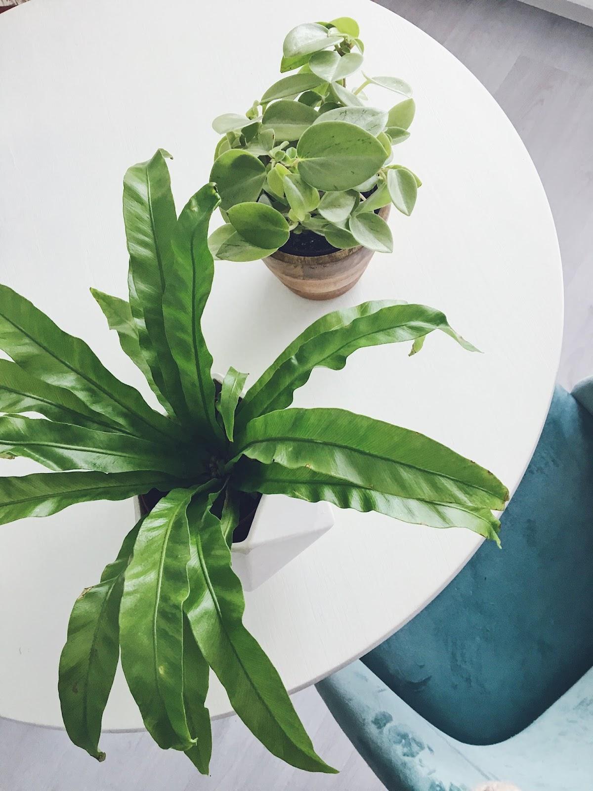 peperomija ir lizdinė kalnarūtė augalai