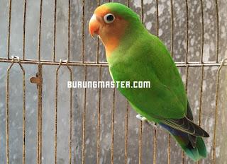 Gambar Lovebird barong / hybrid