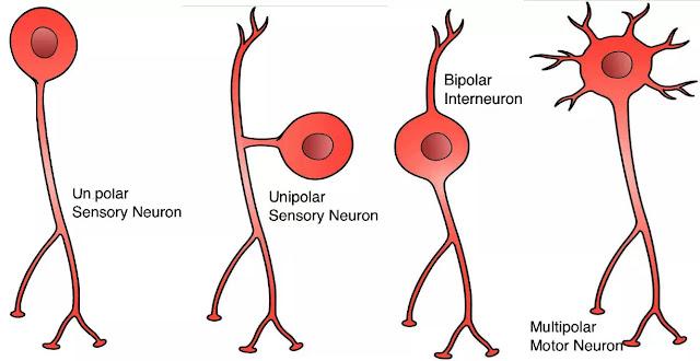 Neuron diklasifikasikan berdasarkan jumlah dan sifat prosesnya. Ada empat jenis yaitu:  neuron unpolar neuron unipolar neuron bipolar neuron multipolar