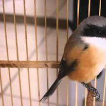 Cara Mengatasi Burung Cendet Yang Sangat Galak