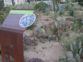 Purple Pancake Cactus At Ethel M Las Vegas.