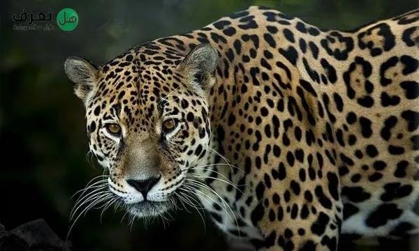 حيوان جاكوار