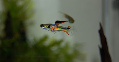 Complete Guppy Care Guide