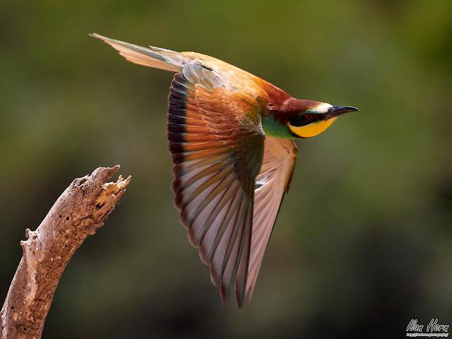 European Bee-Eater in Flight