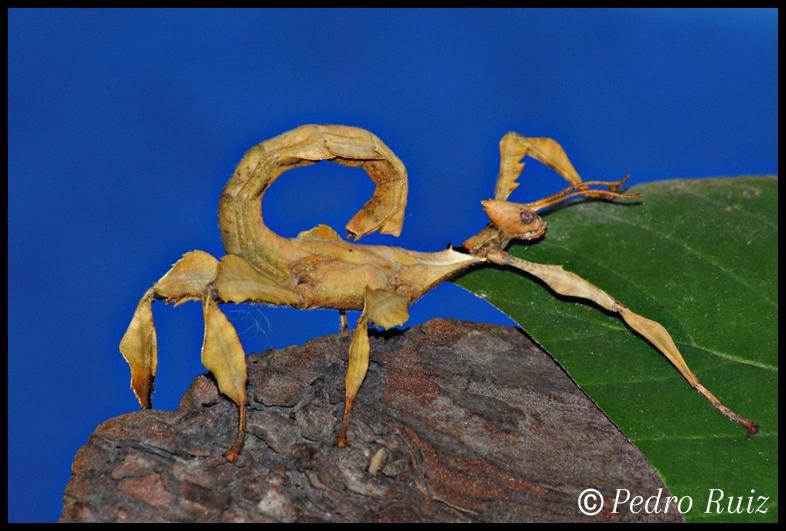 Ninfa macho L5 de Extatosoma tiaratum, 5,5 cm de longitud