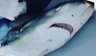 Σκόπελος: Ο γαλέος των 280 κιλών – Η μεγάλη ψαριά στο Αιγαίο που έγινε ανάρπαστη