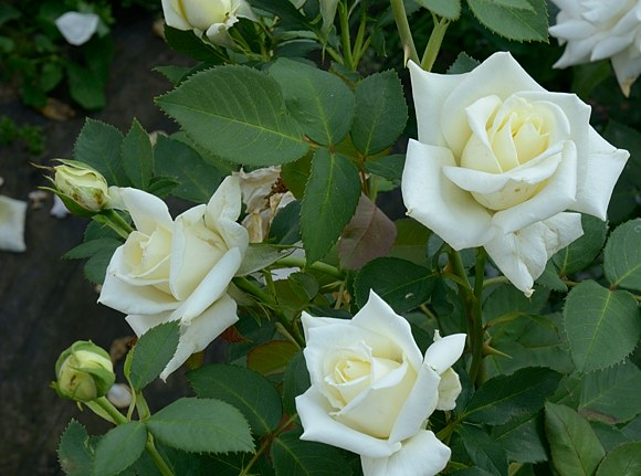 Polarstern сорт розы Тантау фото