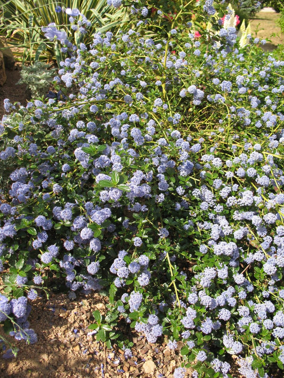 Couvre Sol Croissance Rapide roses du jardin chêneland: céanothe, céanothus thyrsiflorus