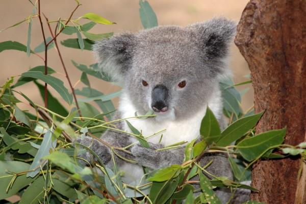 Mitś Koala siedzi na drzewie eukaliptusa je zielone listki