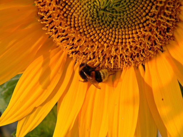 kwiat, owad, wnętrze, ogrodowe