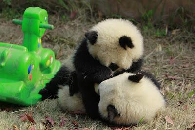 Pandas jugando con caballito