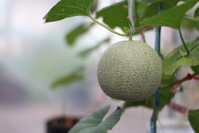 fresh Cantaloupe growing on a stalk