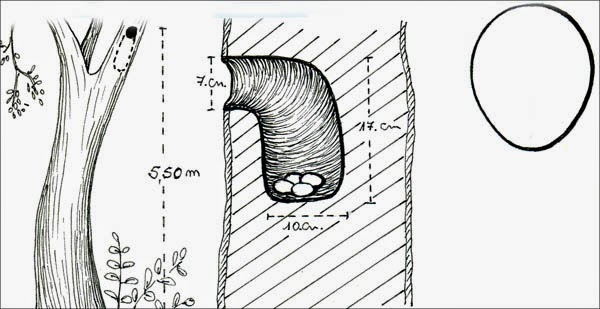 nido de surucua comun Trogon surrucura