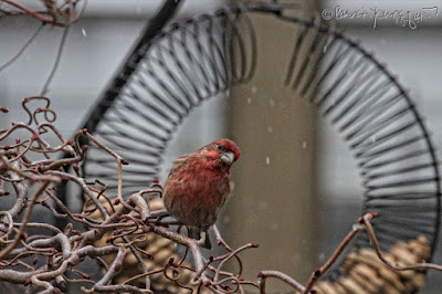 "The focus of this photo is a male House finch who is perched on the left side of a bird feeder which is made of coils and shaped like a wreath and has the function of ""holding"" peanuts within a shell. He appears to be looking into the camera. This ""scene"" occurred on a snowy day (but it is only falling lightly) in my garden, which is the setting for my book series, ""Words In Our Beak."" Info re these books is included in another post within this blog @ https://www.thelastleafgardener.com/2018/10/one-sheet-book-series-info.html"