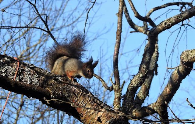 Orava, maaliskuu, kevät, orava oksalla