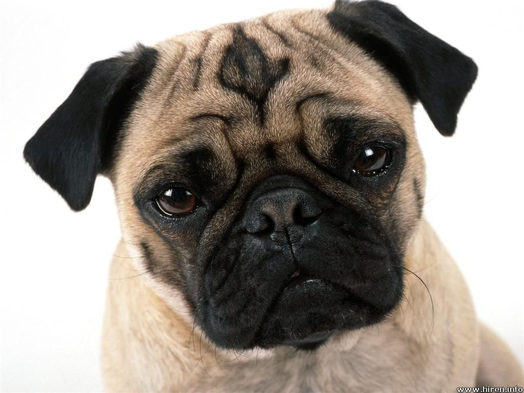 Cute Dogs: pug dog