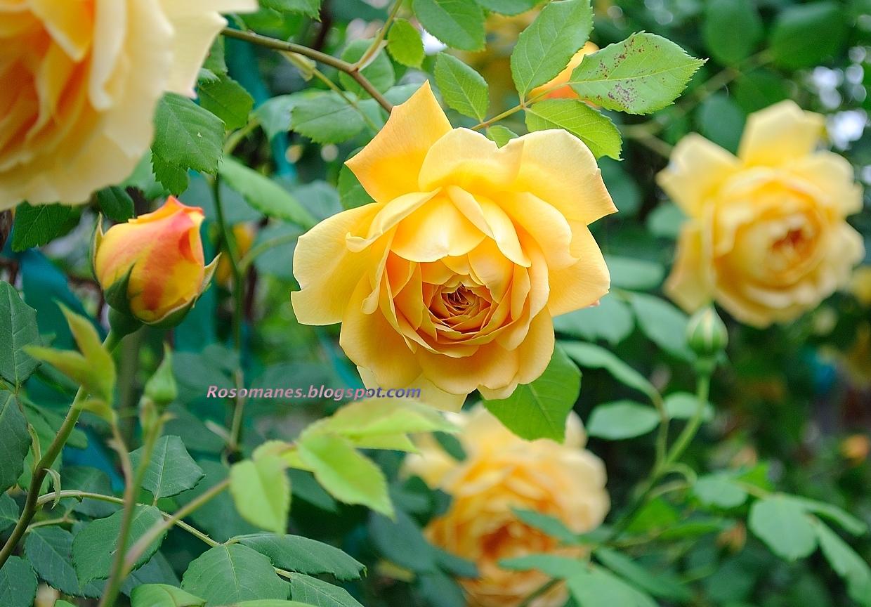 rosa golden celebration
