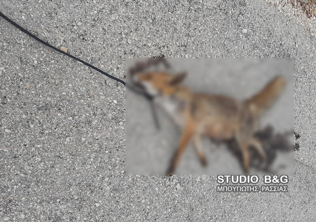 Φρίκη στην Αργολίδα: Κρέμασαν αλεπού από δέντρο και μετά την πέταξαν στη μέση του δρόμου