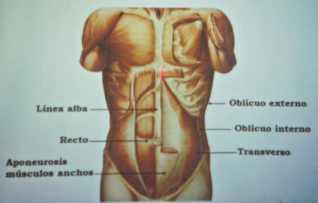 M%C3%BAsculos+del+abdomen.JPG